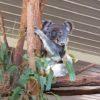 世界一のコアラ保護区ローンパイン・コアラ・サンクチュアリに行く人必見!オーストラリアのブリスベンからの行き方など全て解説!